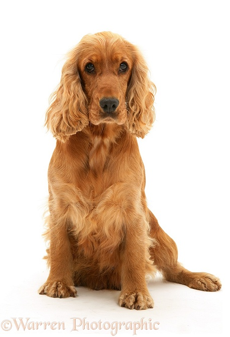 Dog Golden Cocker Spaniel Sitting Photo Wp10148