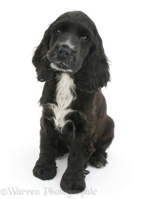 Black-and-white Cocker Spaniel pup, white background