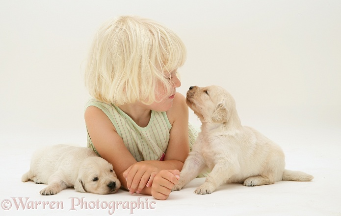 Siena with Golden Retriever pups, white background