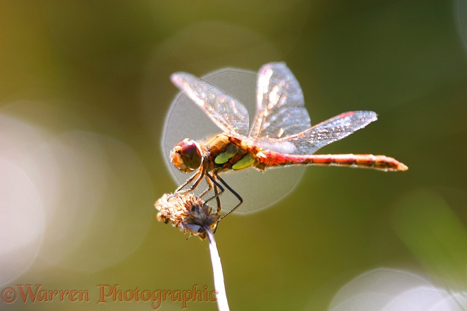 Common Darter Dragonfly (Sympetrum striolatum) male resting on plantain head
