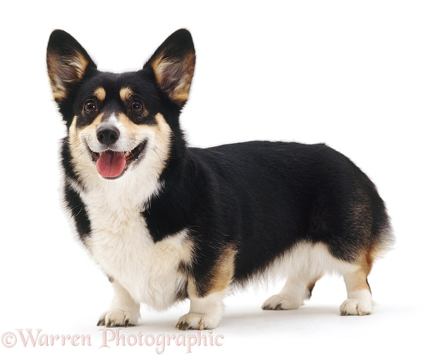 Tricolour Pembrokeshire Welsh Corgi bitch Cleo, white background