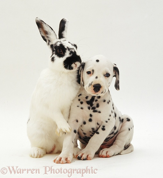 Dalmatian pup and rabbit, white background