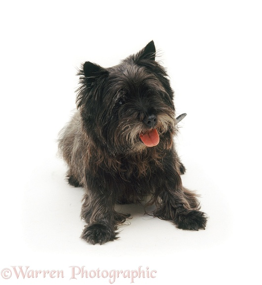 Cairn Terrier Willy, white background