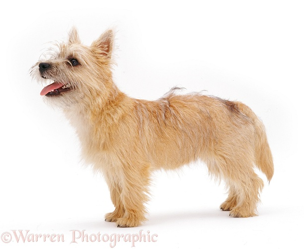 Cairn Terrier pup Daisy, 5 months old, standing, white background