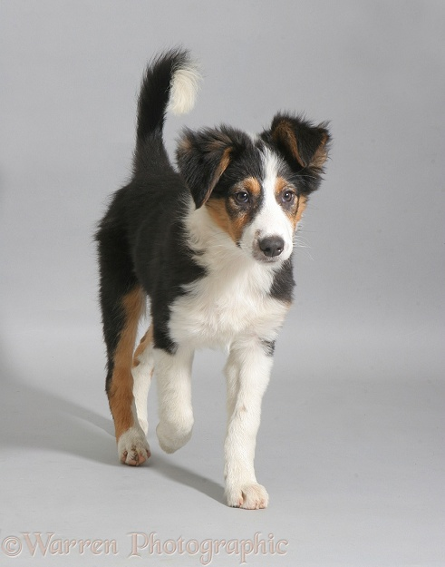 Border Collie puppy walking
