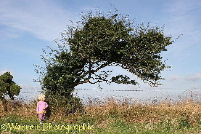 Siena and wind-blown Hawthorn (Crataegus monogyna) tree.  Whitenothe, Dorset