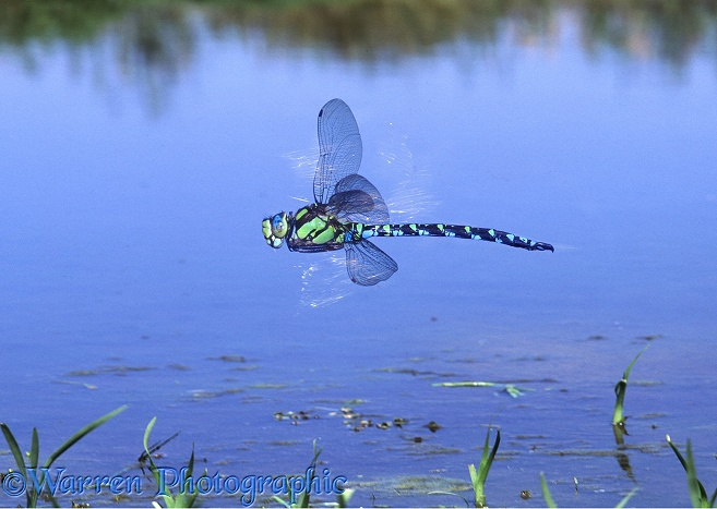Southern Hawker Dragonfly (Aeshna cyanea) male hovering over a pond with sunlight glinting off its wings