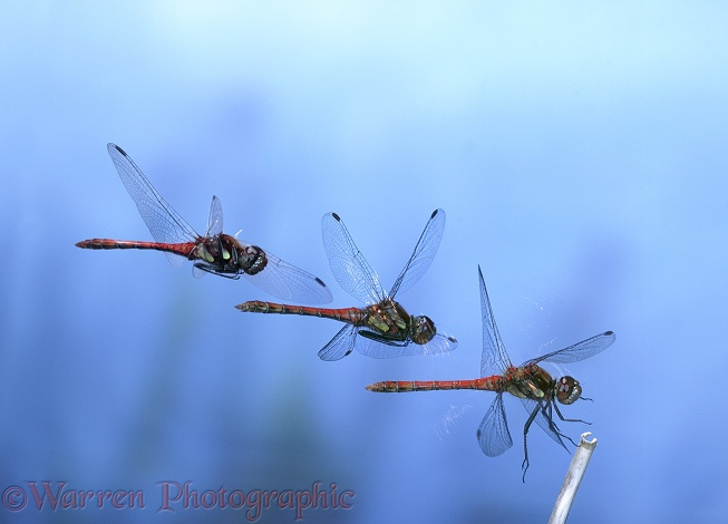 Common Darter Dragonfly (Sympetrum striolatum) male alighting.  Three-image composite showing approach and touchdown