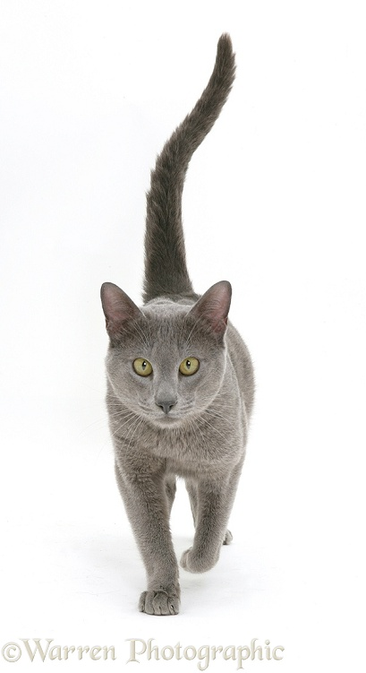 Blue Tonkinese male cat Del walking, white background