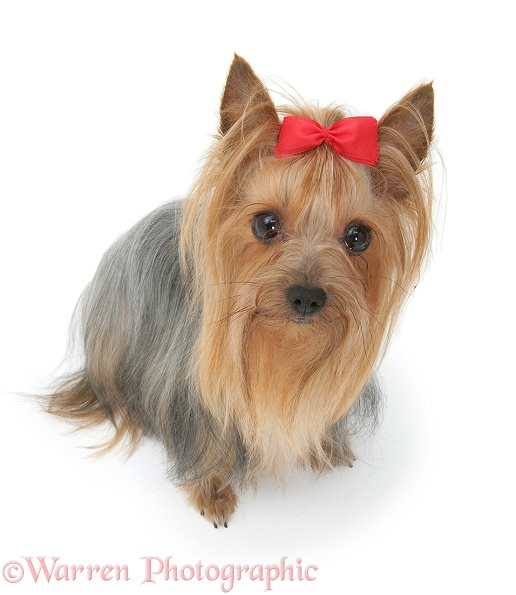 Yorkshire Terrier in show coat and bow in its hair, white background