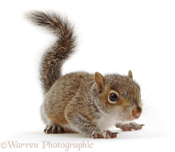 Baby Grey Squirrel (Sciurus carolinensis), white background