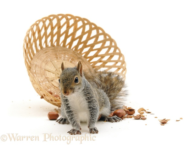 Grey Squirrel (Sciurus carolinensis) has upset a basket of nuts, white background