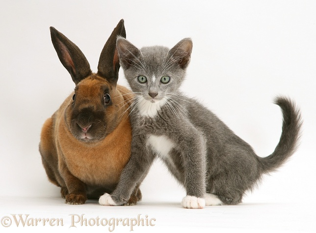 Blue-and-white Burmese-cross kitten Levi with sooty-fawn dwarf Rex rabbit, white background