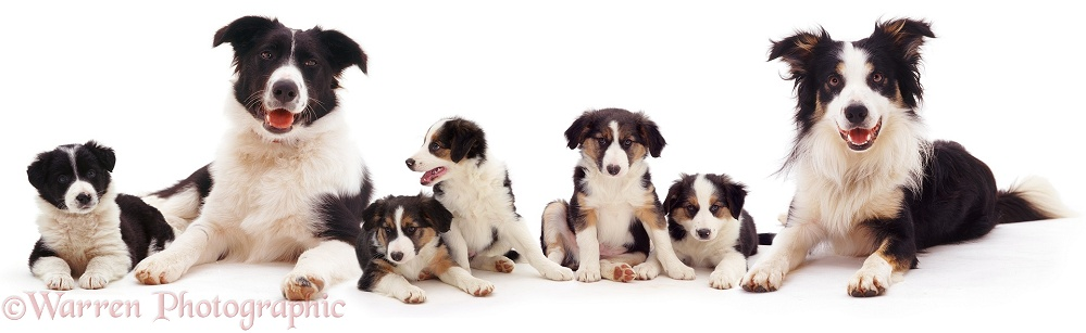Border Collie family, white background