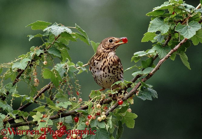 Song Thrush (Turdus philomelos) feeding on red currants