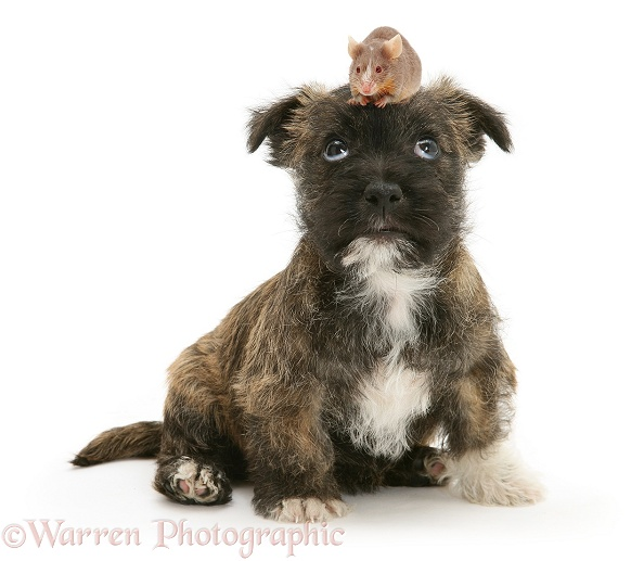 West Highland White x Jack Russell Terrier puppy with a mouse on her head, white background