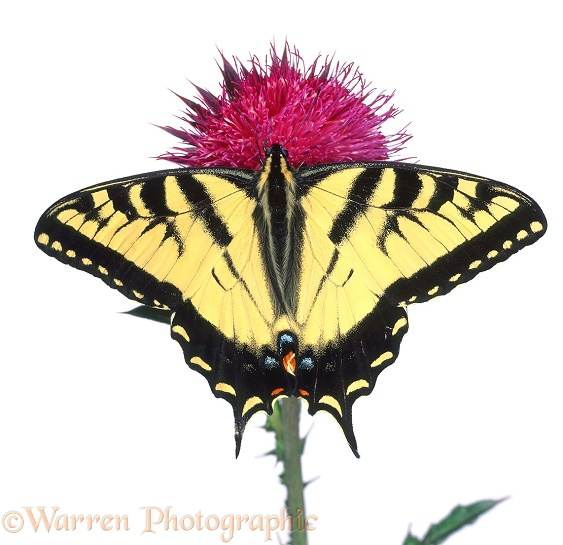 Tiger Swallowtail Butterfly (Papilio glaucus) on Musk Thistle, white background
