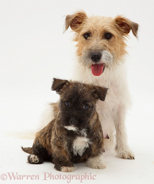 Jack Russell Terrier bitch, Buttercup, and her Westie-cross pup, white background