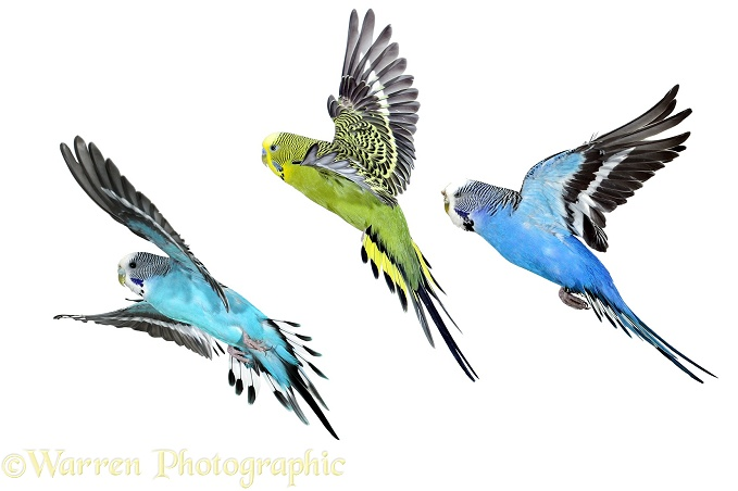 Budgerigar (Melopsittacus undulatus) group in flight, white background
