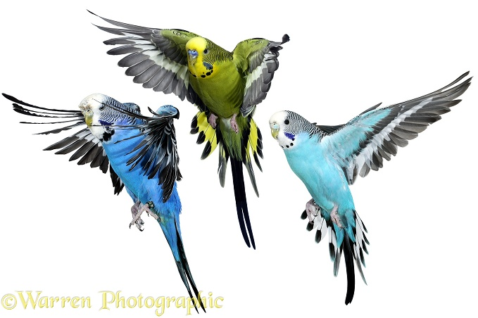 Budgerigars (Melopsittacus undulatus) about to alight, white background