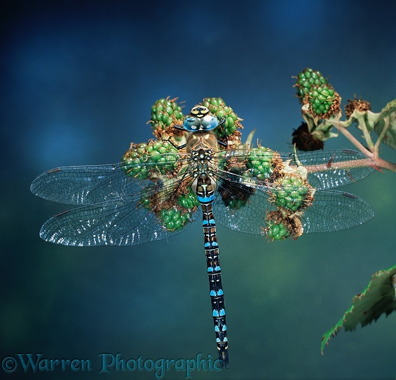 Common Hawker Dragonfly (Aeshna juncea) male resting on unripe blackberries