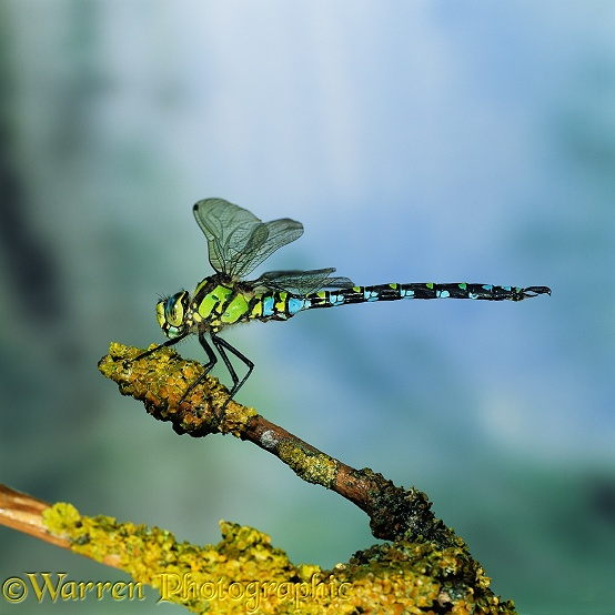 Southern Hawker Dragonfly (Aeshna cyanea) male resting on lichen-covered Elder