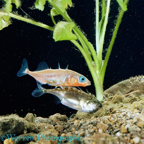 Three-spined Stickleback (Gasterosteus aculeatus) male guiding female into the nest