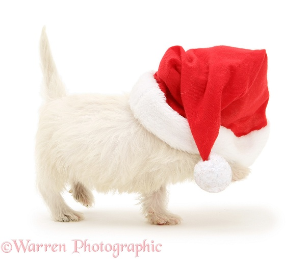 West Highland White Terrier pup in Father Christmas hat, white background