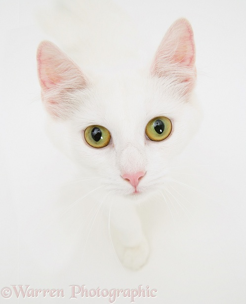 Portrait of white semi-longhaired cat May, white background