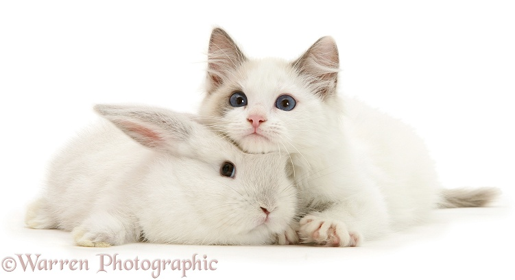 Colour-point lop rabbit baby with Lilac Ragdoll kitten, white background