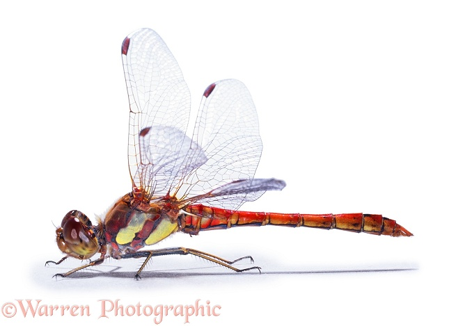 Common Darter Dragonfly (Sympetrum striolatum) male, white background