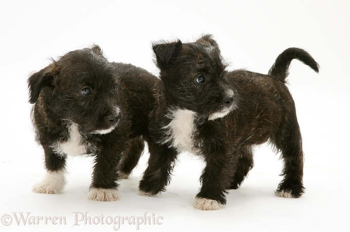 Two West Highland White Terrier x Jack Russell Terrier Buttercup pups