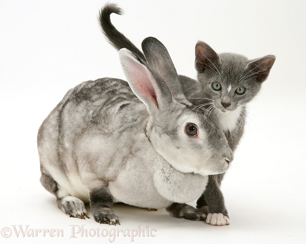 Silver Rex doe rabbit with blue-and-white Burmese-cross kitten Levi, white background