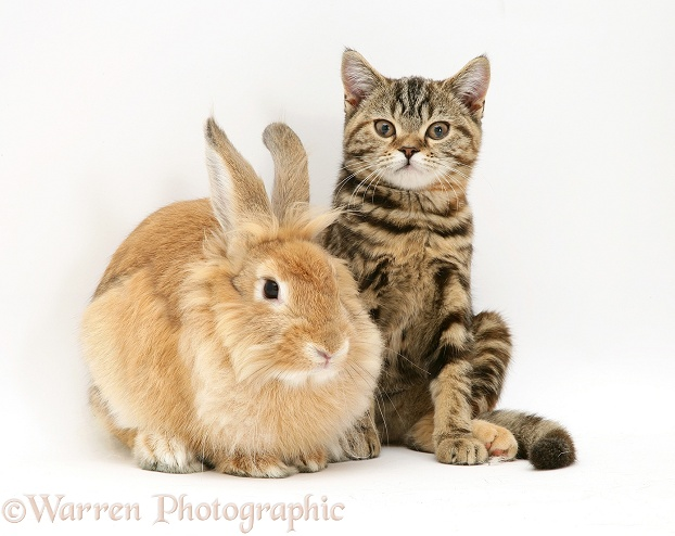 Lionhead Dwarf rabbit and tabby kitten, Tiger Lily, white background