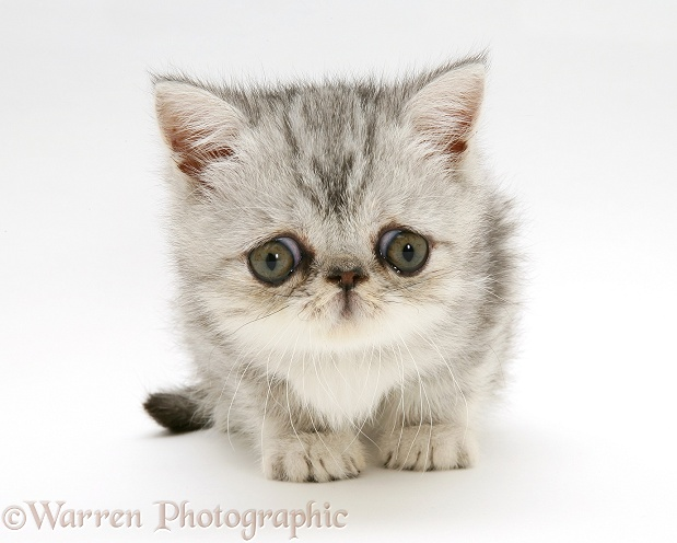 Blue-silver exotic kitten, 9 weeks old, white background