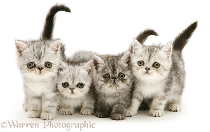 Four exotic kittens, 9 weeks old, white background