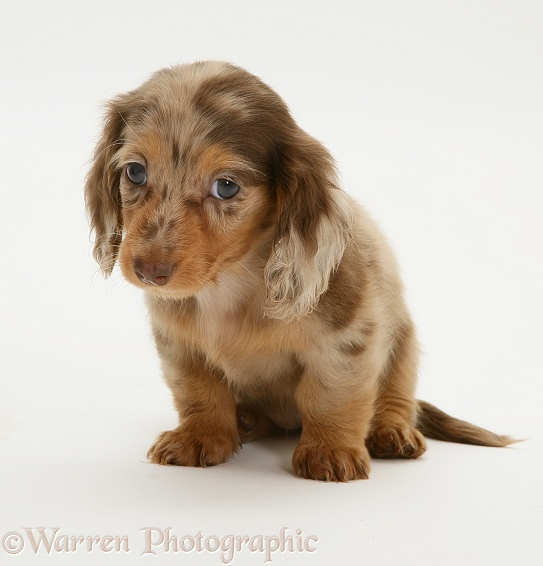 Chocolate Dapple Miniature Long-haired Dachshund pup, white background
