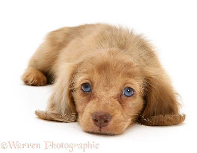 Cream Dapple Miniature Long-haired Dachshund pup lying with chin on floor, white background