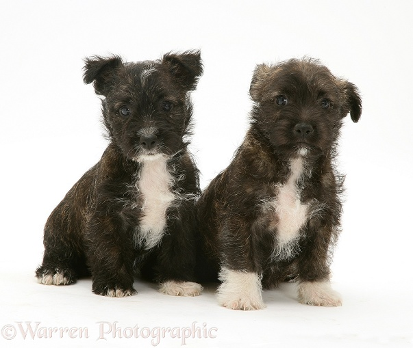 Two West Highland White Terrier x Jack Russell Terrier Buttercup pups, white background