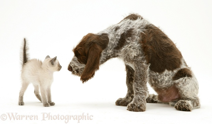 Siamese kitten alarmed by Brown Roan Spinone pup Wilson, 12 weeks old, white background