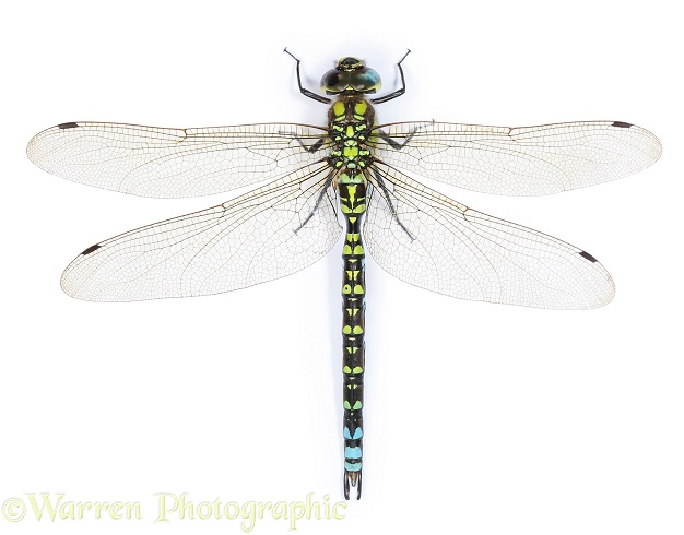 Southern Hawker Dragonfly (Aeshna cyanea) male, white background