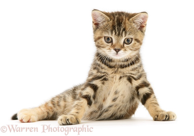 British Shorthair tabby-tortoiseshell kitten, Tiger Lily, white background