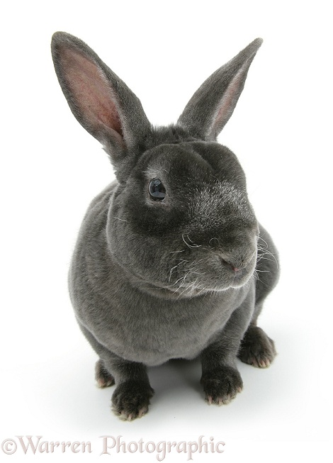 Blue Rex rabbit, white background