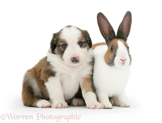 Sable-and-white Border Collie pup with fawn Dutch rabbit, white background