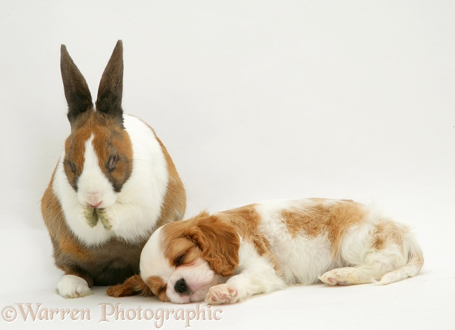 Cavalier King Charles Spaniel pup sleeping with fawn Dutch rabbit washing, white background
