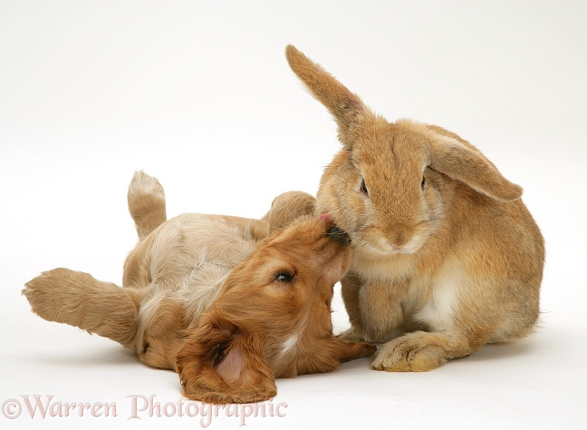Golden Cocker Spaniel puppy and rabbit, white background