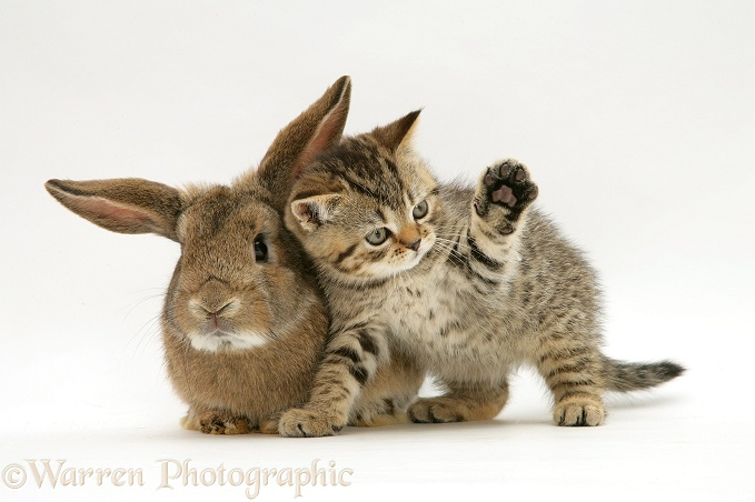 British Shorthair brown tabby female kitten with young agouti 'windmill ears' rabbit, white background