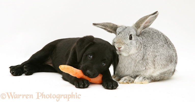 Black Labrador Retriever pup has stolen the silver Lop rabbit's carrot, white background