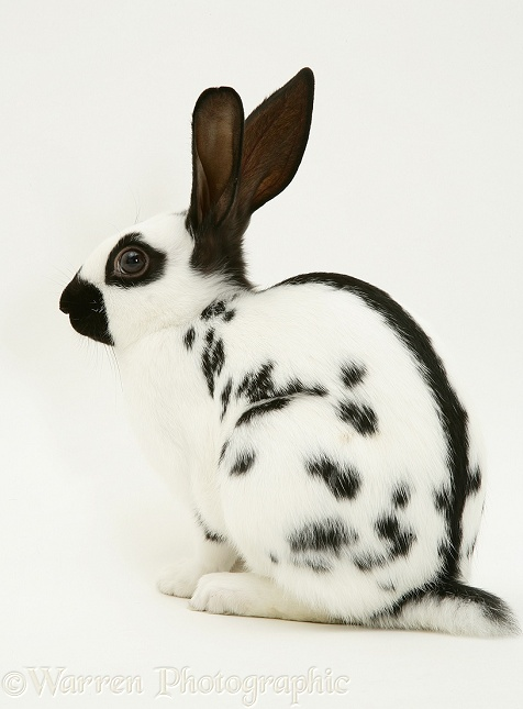 Old English Spotted rabbit, white background