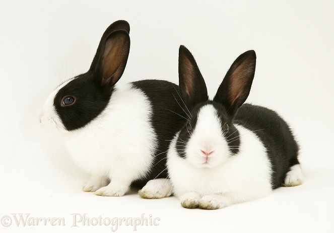 Baby black-and-white Dutch rabbits, 4 weeks old, white background